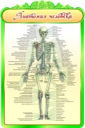 Купить Стенд Анатомия человека в кабинет биологии 600*900мм в России от 1993.00 ₽
