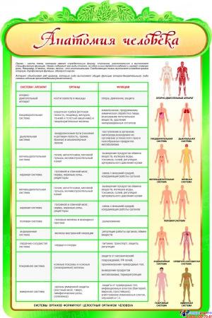 Стенд Анатомия человека с описанием системы органов 600*900мм