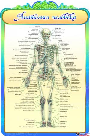 Стенд Анатомия человека в золотисто-бирюзовых тонах 600*900мм