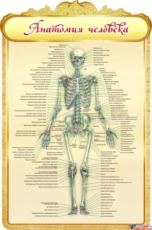 Стенд Анатомия человека в золотистых тонах 600*900мм