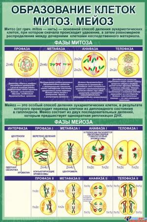 Стенд Образование клеток. Митоз и мейоз 760*1150 мм